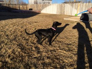 """We're trying to teach her some manners when we're playing, and this is what she tries to pass off as """"sit"""" when she's excited."""